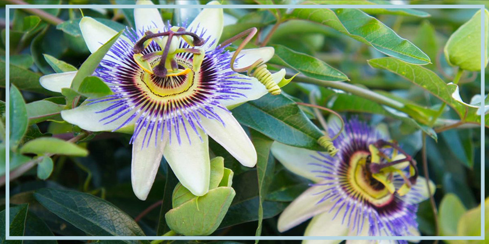 passionflower supplement for treating anxiety and depression